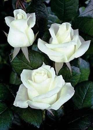 Саженцы роз из питомника. Саженцы роз опт.