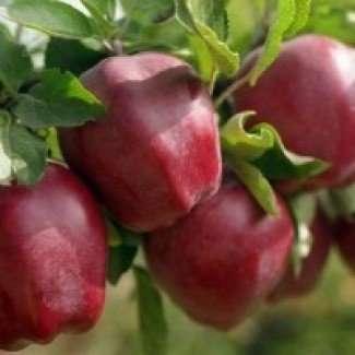 Продам яблука Спартан, Джонаголд, Ріхард, Джонатан, Симиренка, Монтуан