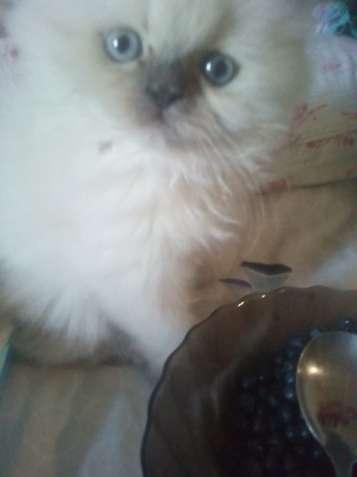 Котёнок регдолл