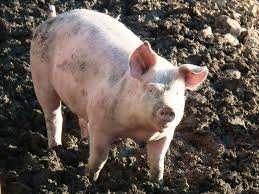 отдам свинью в хорошие руки