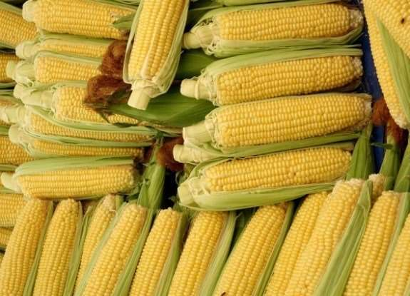 Предлагаю семена сортовой кукурузы американской селекции Айова свит