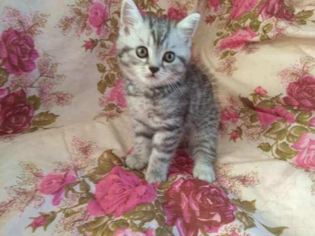 Продам породистых котят мальчика и 2 девочек