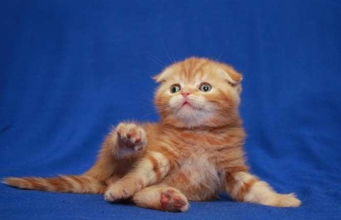 Красивейший шотландский котёнок! Реальные фото