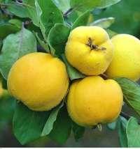 Продаем саженцы яблони, груши, айвы