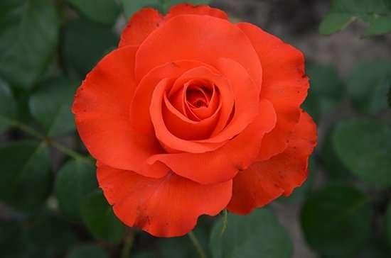 Купить саженцы роз из питомника.
