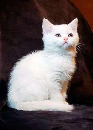 Шотландский прямоухий котик белого окраса.