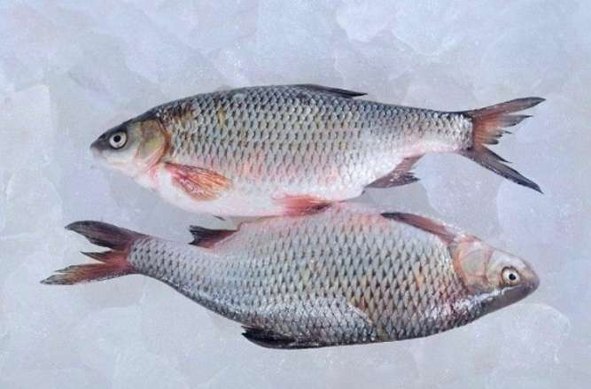 Риба свіжа річкова гуртовий продаж - зображення 6