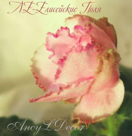 Фиалки сортовые, детка ЛЕ-Елисейские Поля, красивые цветы