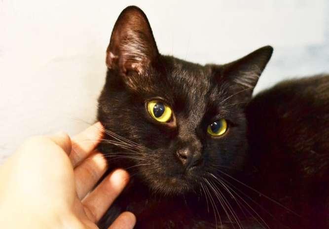 Томас, котик в чёрной шубке, 8 месяцев