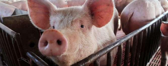 Працівники на свиноферму Канів