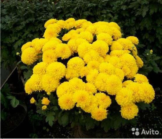 Хризантемы разные, рассада дёшево!