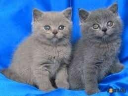 Племінні кошенята Британська короткошерста