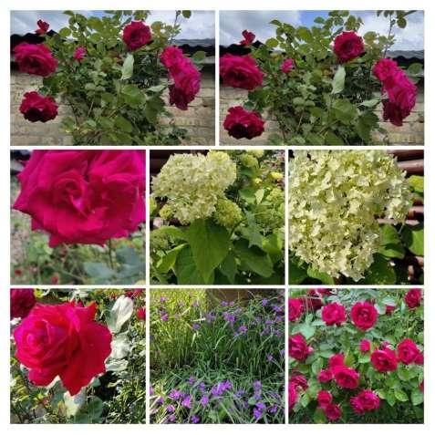 Троянди розы красные на срез лепестки, гортензия белая букеты, цветы