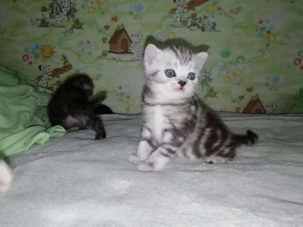 Шотландские котят