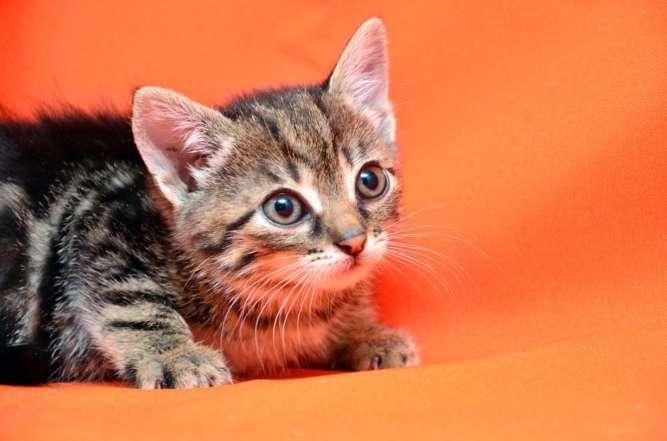 Мраморная девочка Перла, котёнок метис бенгальской породы, 1,5 месяца