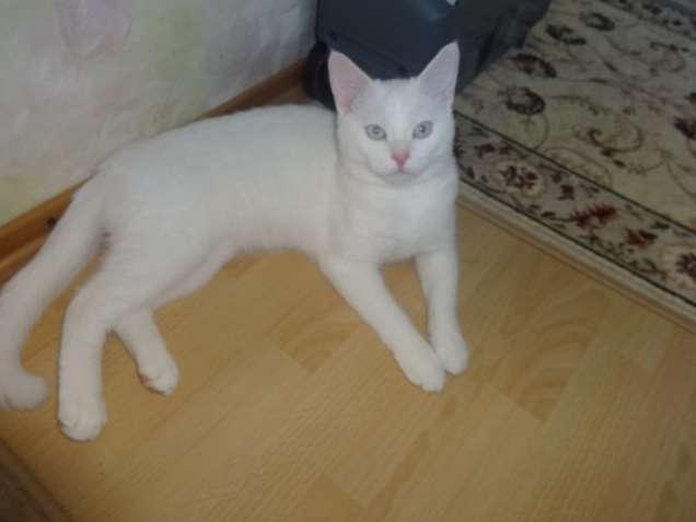 белый котик као мани с документами-голубоглазый