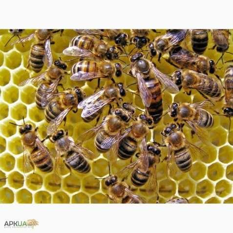 Продам пчелосемьи (Продам бджолосім'ї )