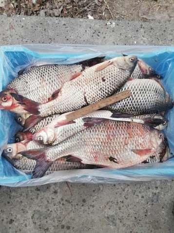 Риба свіжа річкова гуртовий продаж - зображення 2