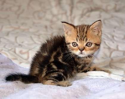 Шотландский прямоухий котик окраса черный мрамор.