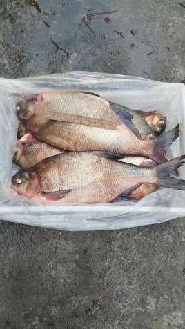 Риба свіжа річкова гуртовий продаж - зображення 7