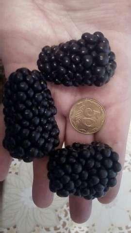 Продам саджанці безколючкової ожини Потрійна корона