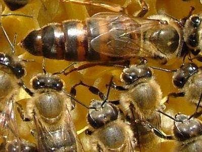 Продам пчелы. Пчелы семьи  карпатка, Одесса цена за рамку 200 гривен