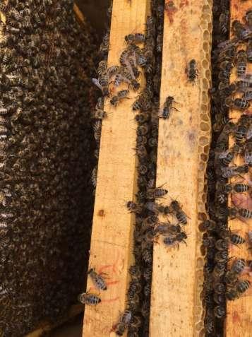 Приймаємо замовлення на бджолопакети Карпатської породи 2019