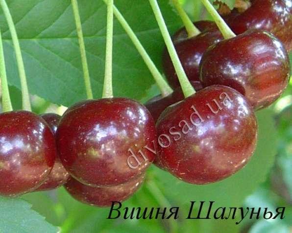 Саженцы черешни, вишни, вишнево-черешневого гибрида